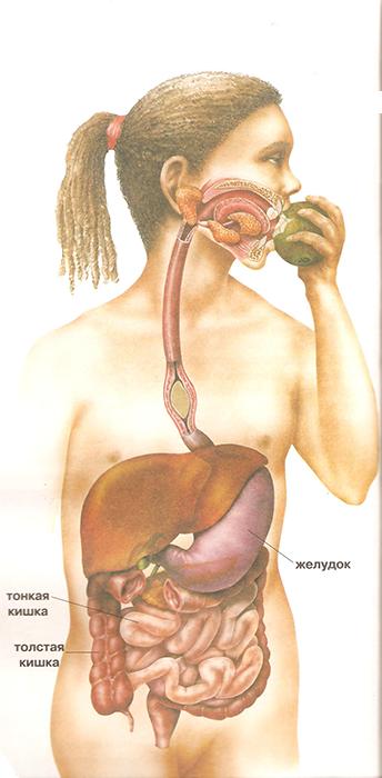 органы пищеварения зачем они нужны